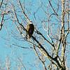 933613-R1-66-3A eagle