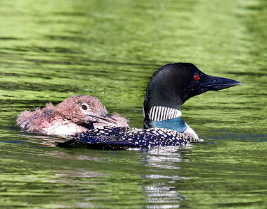 Loon with Chick