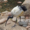 Sacred Ibis at Wild Animal Park - 11 Apr 2010