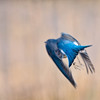 Mountain Bluebird, Grand Teton National Park, Wyoming