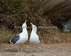 Western Gull - courtship (Larus occidentalis)