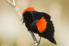 Redwinged Blackbird at Schollenberger 6