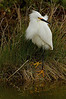 Snowy Egret, Chincoteague National Wildlife Refuge, Virginia