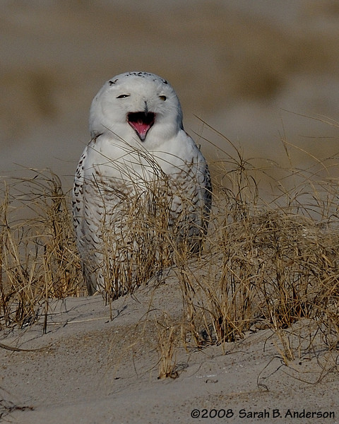 Snowy Owl yawn<br /> Assateague Island National Seashore, Maryland<br /> December 2008