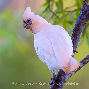 Short-billed Corella, Tea Gardens, New South Wales