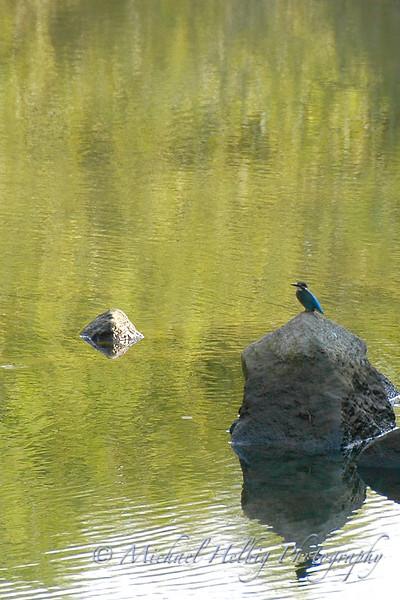 Kingfisher - Hiroshima
