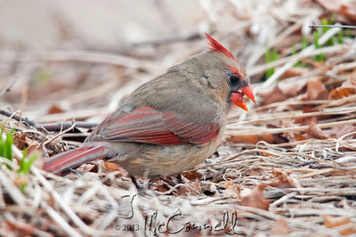 Female Cardinal on the Ground
