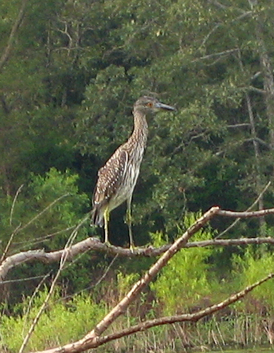 A juvenile yellow-crowned night heron (Nyctanassa violacea) perched on a fallen tree at Lake Tawakoni (211_1130)