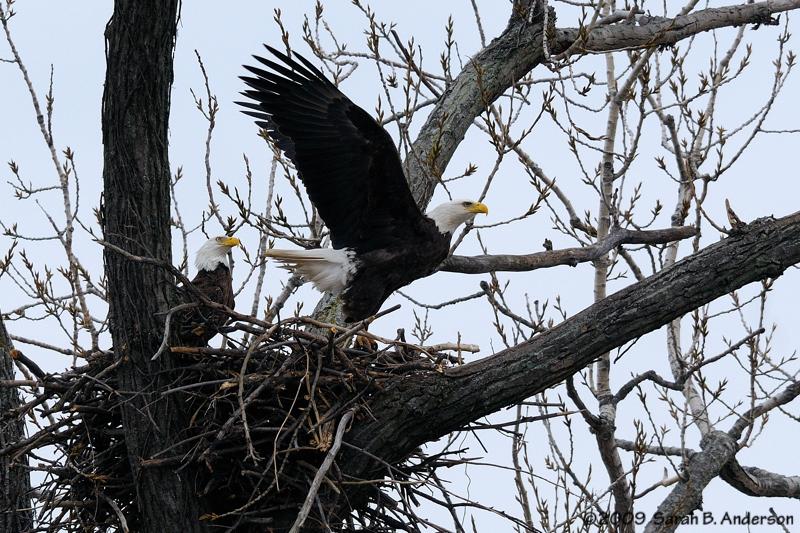 Female Bald Eagle takes flight,<br /> Potomac River,<br /> Alexandria, Virginia<br /> February 2009