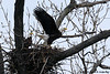Female Bald Eagle takes flight,<br /> Potomac River,<br /> Alexandria, Virginia<br /> February 2009