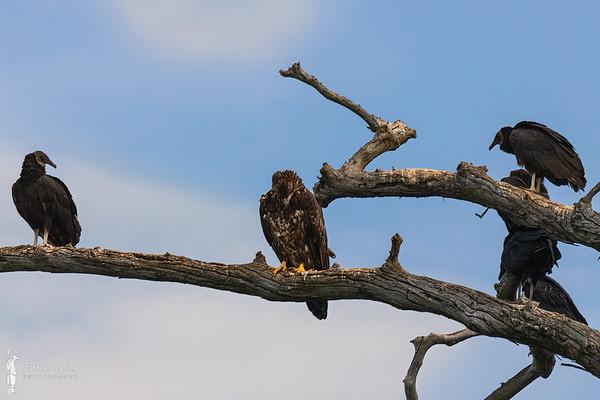 Juvenile Bald Eagle and Vultures