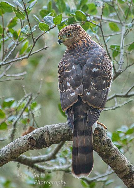 Coopers Hawk Accipiter cooperii