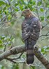 Coopers Hawk Accipiter cooperii