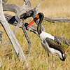 Saddle Billed-Stork