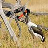 Saddle Billed-Stork