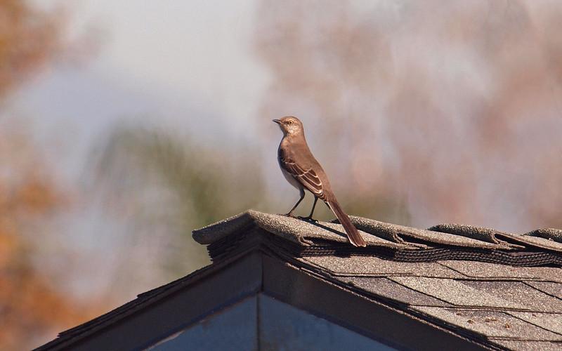 Northern Mockingbird - 14 Jan 2010