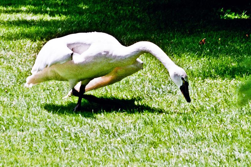 Agressive Swan