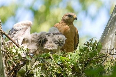 052908 Hawk Chicks-38