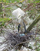 Cattle Egret - parent, chick and a couple eggs yet to hatch.