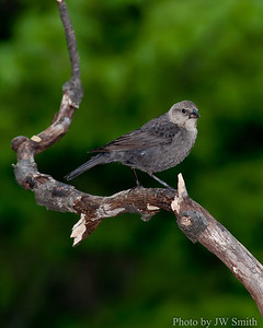 Female Brownheaded Cowbird