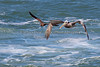 Brown Pelican (Pelecanus occidentalis) on right, and what I think is a Heermann's Gull (Larus Heermanni) on the left.  It thought it funny that they were traveling together.