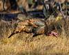 South Llano Gobbler