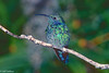 Green Violet-ear Hummingbird #2