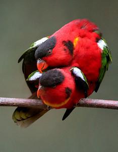 Parrots mating