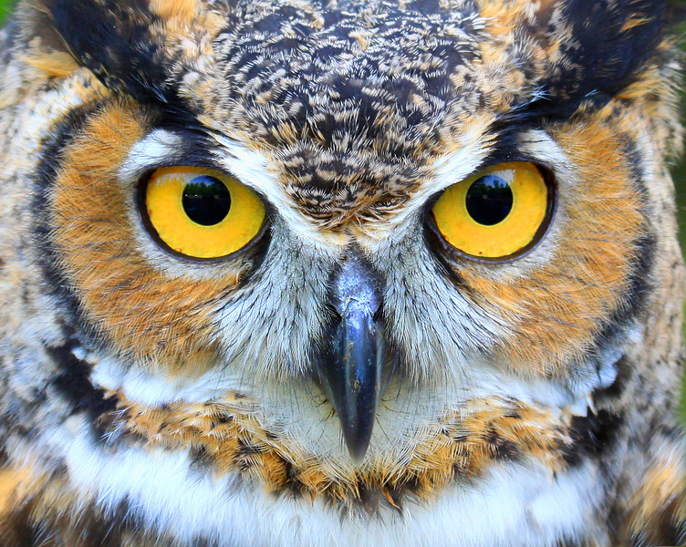 """The Great Horned Owl  """"I Got My Eyes on You"""""""