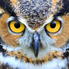 "The Great Horned Owl  ""I Got My Eyes on You"""