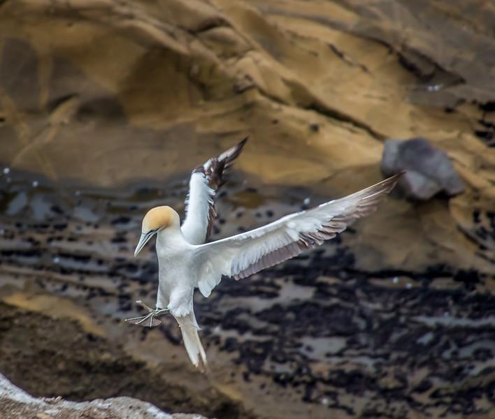 Gannet bird coming in for a landing