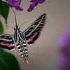 Sphingidae - Sphinx Moths #2