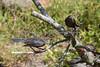 Juvenile Brewer's Blackbird begging for food.  (Euphagus cyanocephalus)