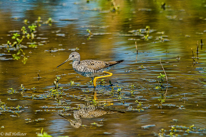 Greater Yellowlegs #3 at Schollenberger  04-03-11