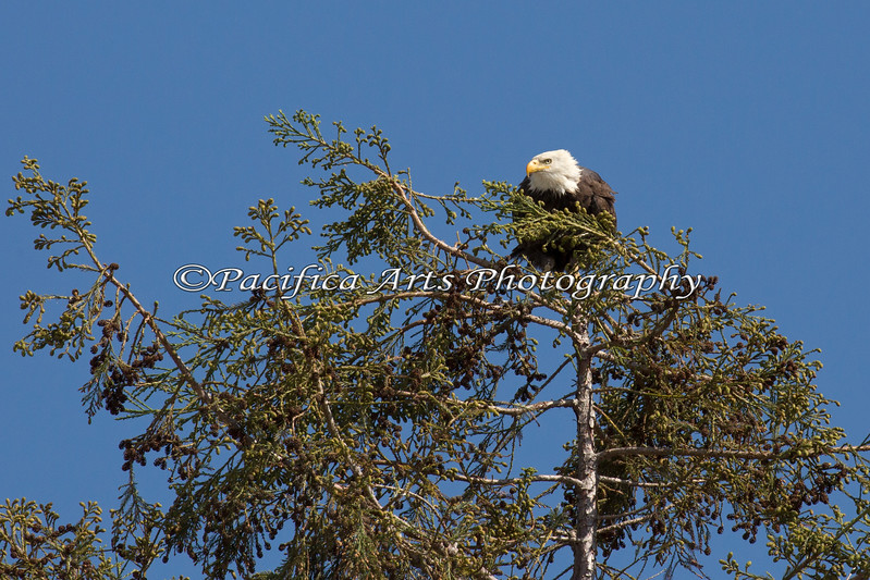 Male Bald Eagle - Millpitas - 10Apr2017