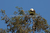 Male Bald Eagle - Millpitas - 10Apr2017