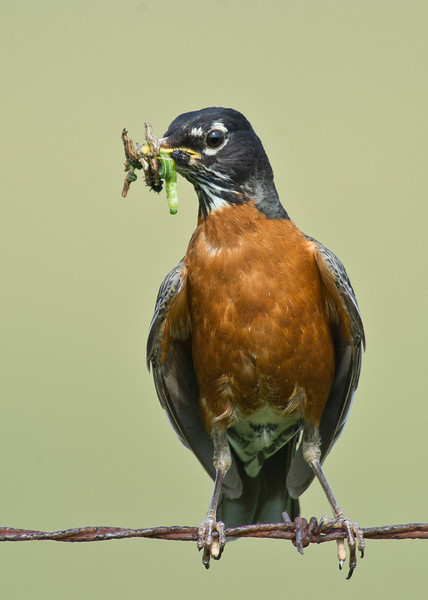 Robin with lunch