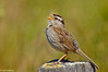 Song sparrow on post #1