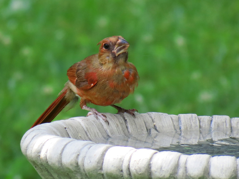 Juvenile cardinal molting and getting his red adult feathers while his beak changes color from black to bright orange.