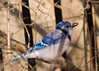 Blue Jay {Cyanocitta cristata} <br /> My Yard<br /> Natick, MA <br /> © WEOttinger, The Wildflower Hunter - All rights reserved<br /> For educational use only - this image, or derivative works, can not be used, published, distributed or sold without written permission of the owner.