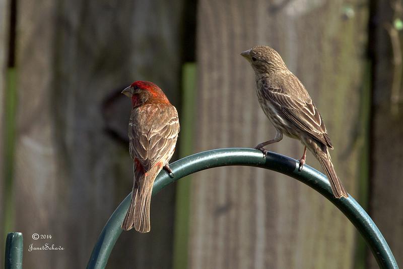IMAGE: http://jschove.smugmug.com/Nature/Nature/i-RP4bSBJ/0/L/HouseFinch_6590-L.jpg