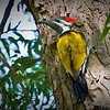 Woodpecker - Black-rumped Flameback
