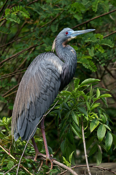 Tricolored Heron, St. Augustine, Florida