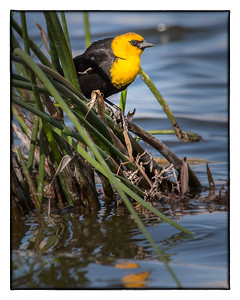 yellow-headed blackbird 6150