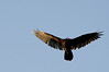 Turkey Vulture near Towner's Woods soaring in late evening sun.
