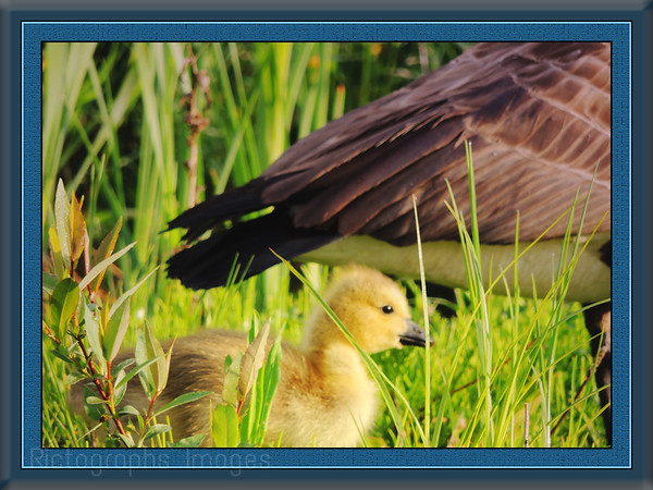 Baby Goose, Touring Canada