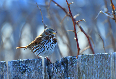 Sparrow on Fence, Bird 445448