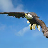 Bald Eagle (Haliaeetus leucocephalus). Also known as the American Eagle in flight.