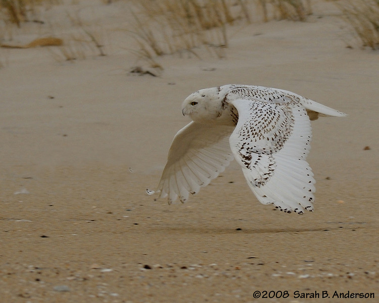 Low-flying snowy owl<br /> Assateague Island National Seashore, Maryland<br /> December 2008