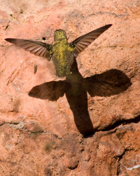 Hummingbird  (possibly a black-chinned) battling its own shadow <br /> I finally froze its wings at 1/2000 of a second<br /> Desert Museum Tucson, AZ <br /> © WEOttinger, The Wildflower Hunter - All rights reserved<br /> For educational use only - this image, or derivative works, can not be used, published, distributed or sold without written permission of the owner.